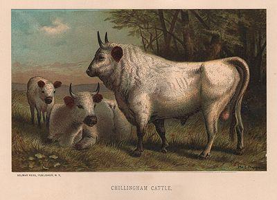 ORIG VINTAGE COLOR PRINT/ CHILLINGHAM CATTLEillustrator- N/A - Product Image